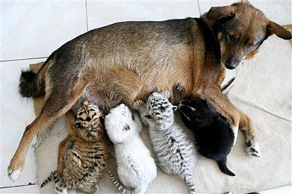 Dog nurses tiger cubs